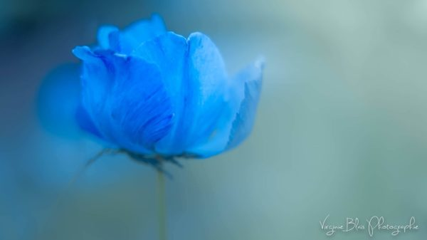 Virginie-Blais_Blue-flower